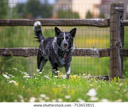 Cattle Dog Outside Backyard There Cedar Stock Photo Edit Now