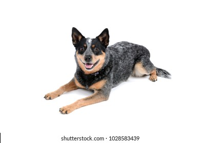 cattle dog panting laying on white background