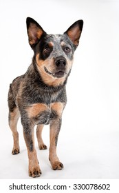 Cattle dog standing on white background