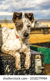A cattle dog, waiting to start his days work, on the back of a pickup, on a cattle ranch near Paulina, Oregon