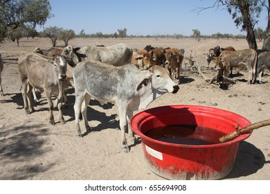 Cattle drinking molasses from a trough