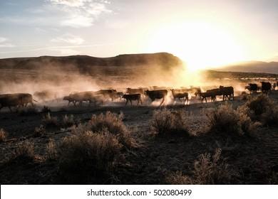 Cattle Drive in Oregon Desert