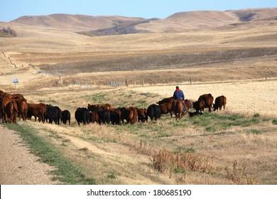 Cattle drive in scenic Saskatchewan