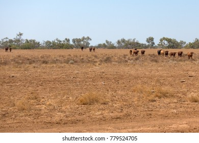 Cattle in dry landscape in Queensland, Australia