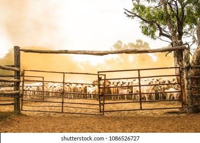 Cattle in the dusty yard after a long day mustering in outback Australia