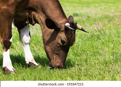 Cattle eat grass
