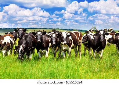 Cattle eating grass in the meadow