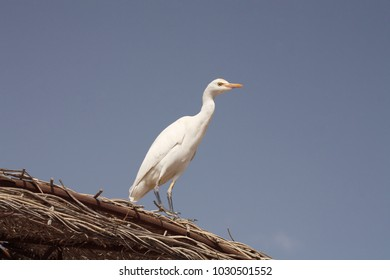 Cattle egret, beach, Egypt