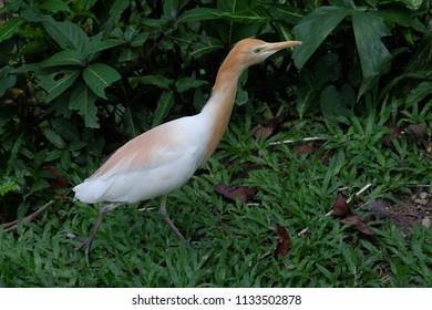 Cattle Egret or bubulcus Ibis
