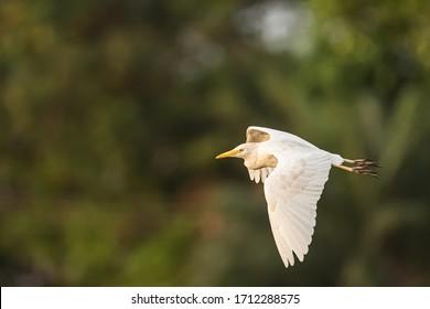 Cattle egret (Bubulcus ibis) in flight against a green background in Lagos, Nigeria
