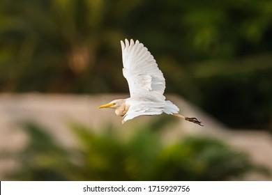 Cattle Egret (Bubulcus ibis) flying across