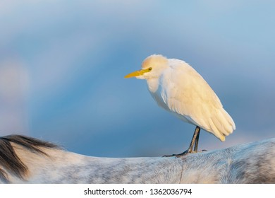 Cattle egret (Bubulcus ibis) Malaga, Spain