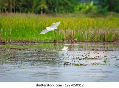 Cattle Egret (Bubulcus ibis) .Rice cultivation with Cattle Egret .Cattle Egrets Bubulcus ibis, paddy field