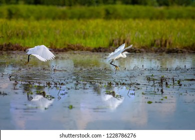 Cattle Egret (Bubulcus ibis) .Rice cultivation with Cattle Egret  Cattle Egrets Bubulcus ibis, paddy field.