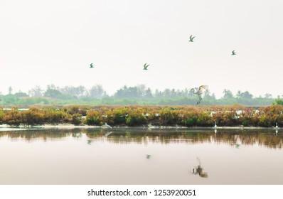 Cattle Egret (Bubulcus ibis) .Rice cultivation with Cattle Egret .Cattle Egrets Bubulcus ibis, paddy field