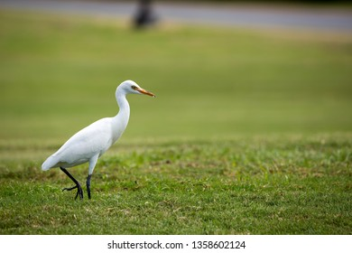 A Cattle Egret (Bubulcus ibis) stalking across a well-manicured grass golf course in Kaanapali, Maui, Hawaii, USA. Photographed from a distance, low to the ground.