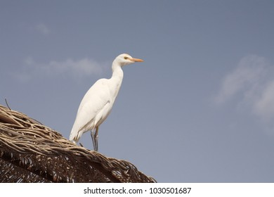 Cattle egret, Egypt