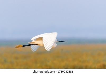 Cattle egret in flight in Mangalajodi, Odissa, India