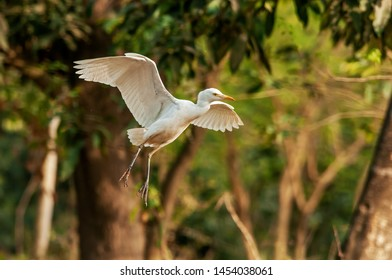 Cattle egret  is the only member of the monotypic genus Bubulcus, although some authorities regard two of its subspecies as full species, the western cattle egret and the eastern cattle egret.