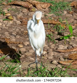 A cattle egret with only one leg stands on a thick tree root and around it lie withered leaves.