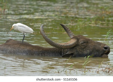 Cattle Egret resting on a Water Buffalo in Yala West National Park, Sri Lanka