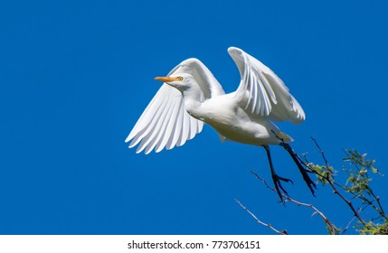 A Cattle Egret takes off from a tree