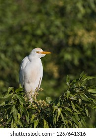 Cattle egret wandering in the farms land of Kabini forest. India
