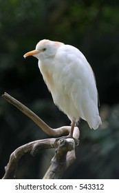 cattle egret white