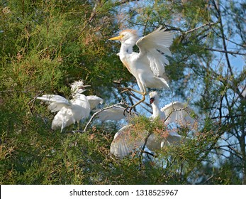 Cattle egrets (Bubulcus ibis) in tree, open wings, in the Camargue is a natural region located south of Arles, France, between the Mediterranean Sea and the two arms of the Rhône delta