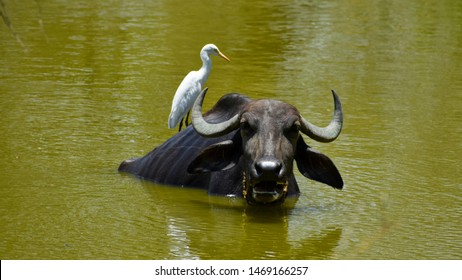 Cattle egrets with the buffalo, symbiotic relationship