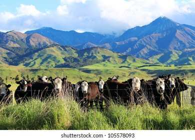 Cattle enjoying the lush green pastures of New Zealand's country side