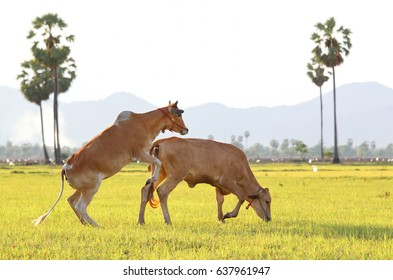 Cattle family on a cornfield, big cattle mating