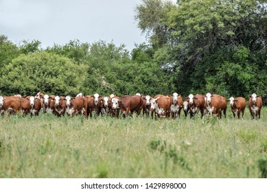 Cattle Farm, with braford cattle.