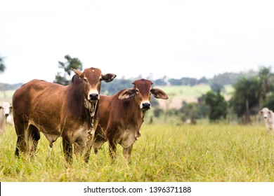 Cattle in farm of Brazil. Cattle breeding (cattle breeding) is part of the country's economy.