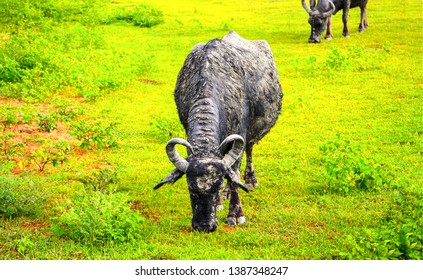 Cattle farm grazing scene view. Horned cattle bull grazing. Bull grazing on pasture. Horned cattle bull
