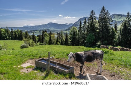 Cattle farming in the Allgau alps obove the Alpsee near Immenstadt, Bavaria, Germany