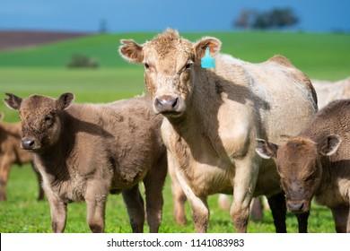 Cattle farming Murray grey beef beautiful Growth cow cute