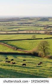 Cattle farming in a UK countryside scene, farmland with fields and hedgerows in Aylesbury Vale, Buckinghamshire, UK