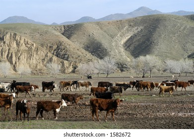 Cattle at a feed lot in Central California