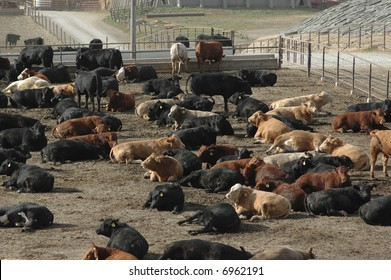 Cattle at Feed Lot in Midwest 1