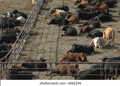 Cattle at Feed Lot in Midwest 2