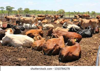 Cattle at a feedlot .Feedlot cattle spend around 85-90% of their lives on pasture. Cattle are generally taken to feedlots because pasture quality does not allow cattle to reach marketable weights.