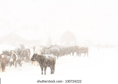Cattle in the field during the snow storm.