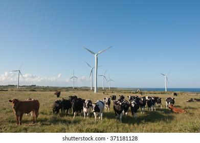Cattle in a field of wind turbines
