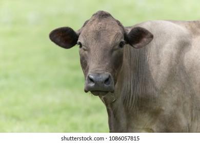 Cattle in fields in Texas, USA
