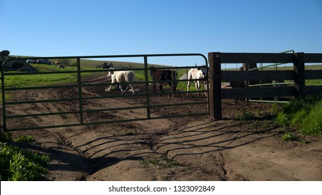 Cattle gather at the watering trough on a California ranch nestled in the foothills of the Sierra Nevada Range.