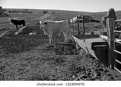 Cattle gather at the watering trough on a California ranch nestled in the foothills of the Sierra Nevada Range. (monochrome image)