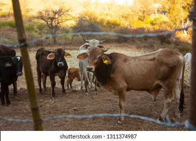 Cattle in golden evening in a state of Mexico City to work in agriculture and a farm