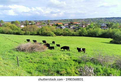 Cattle grassing on a green field in a Danish city with houses in the background