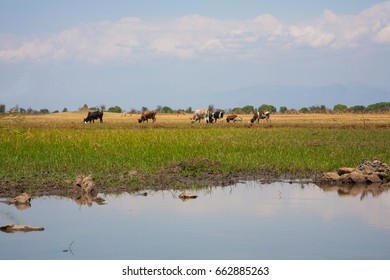 Cattle graze freely on the plains and grasslands near Lilongwe in Malawi.
